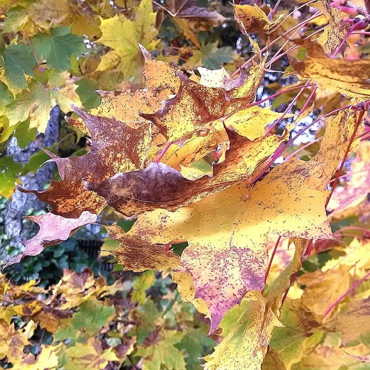 autumn, leaf, change, dry, nature, outdoors, day, maple leaf, close-up, no people, yellow, maple, beauty in nature