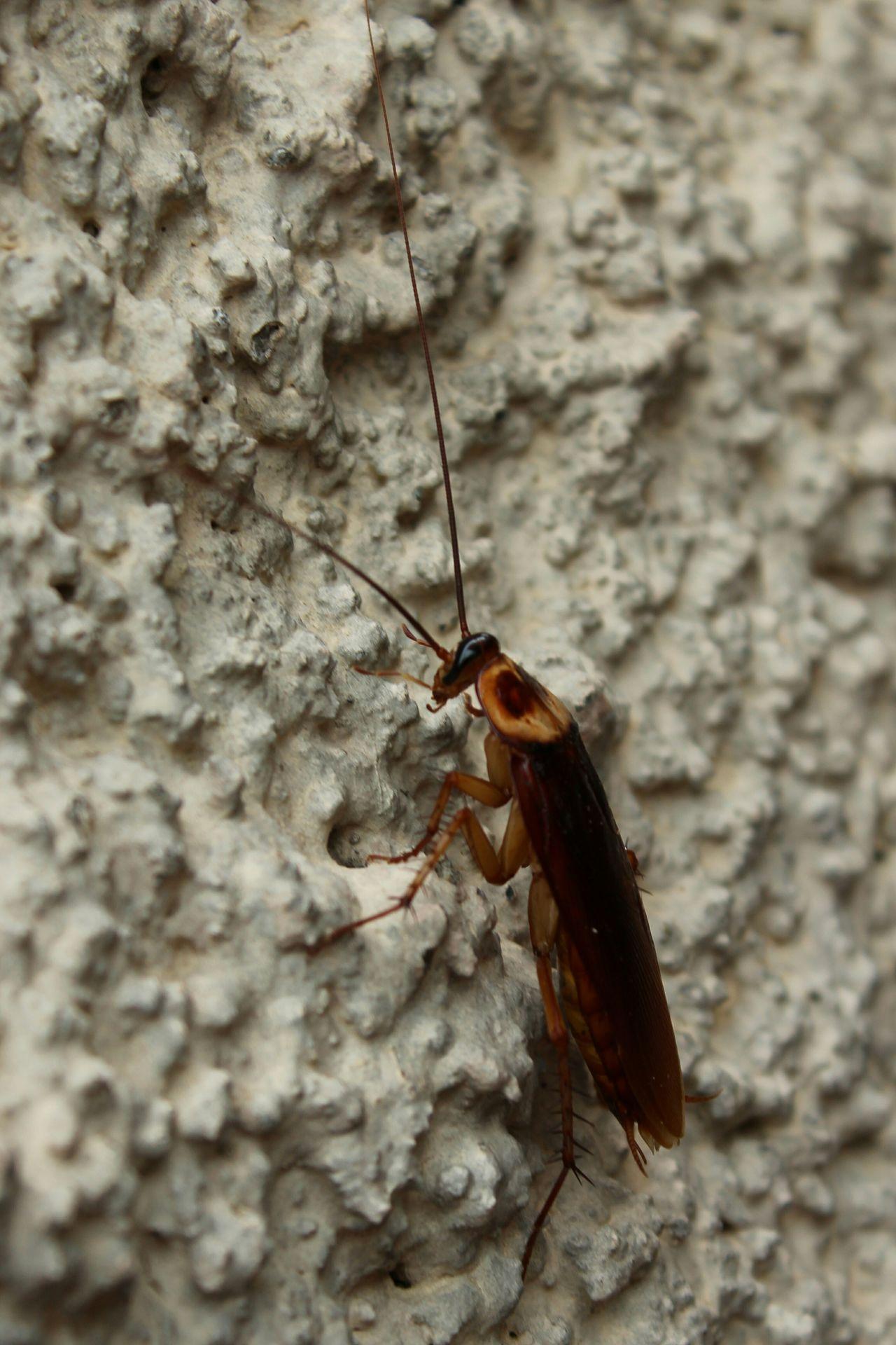 Barata Cockroach Cucaracha Insect Inseto Insect Paparazzi Nature Natureza