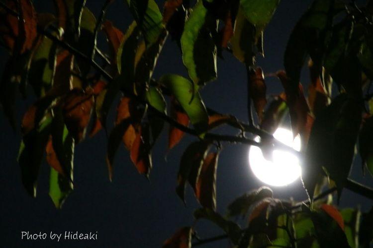 月明かり Moon 中秋の名月 十五夜 月 色付く 桜の葉っぱ