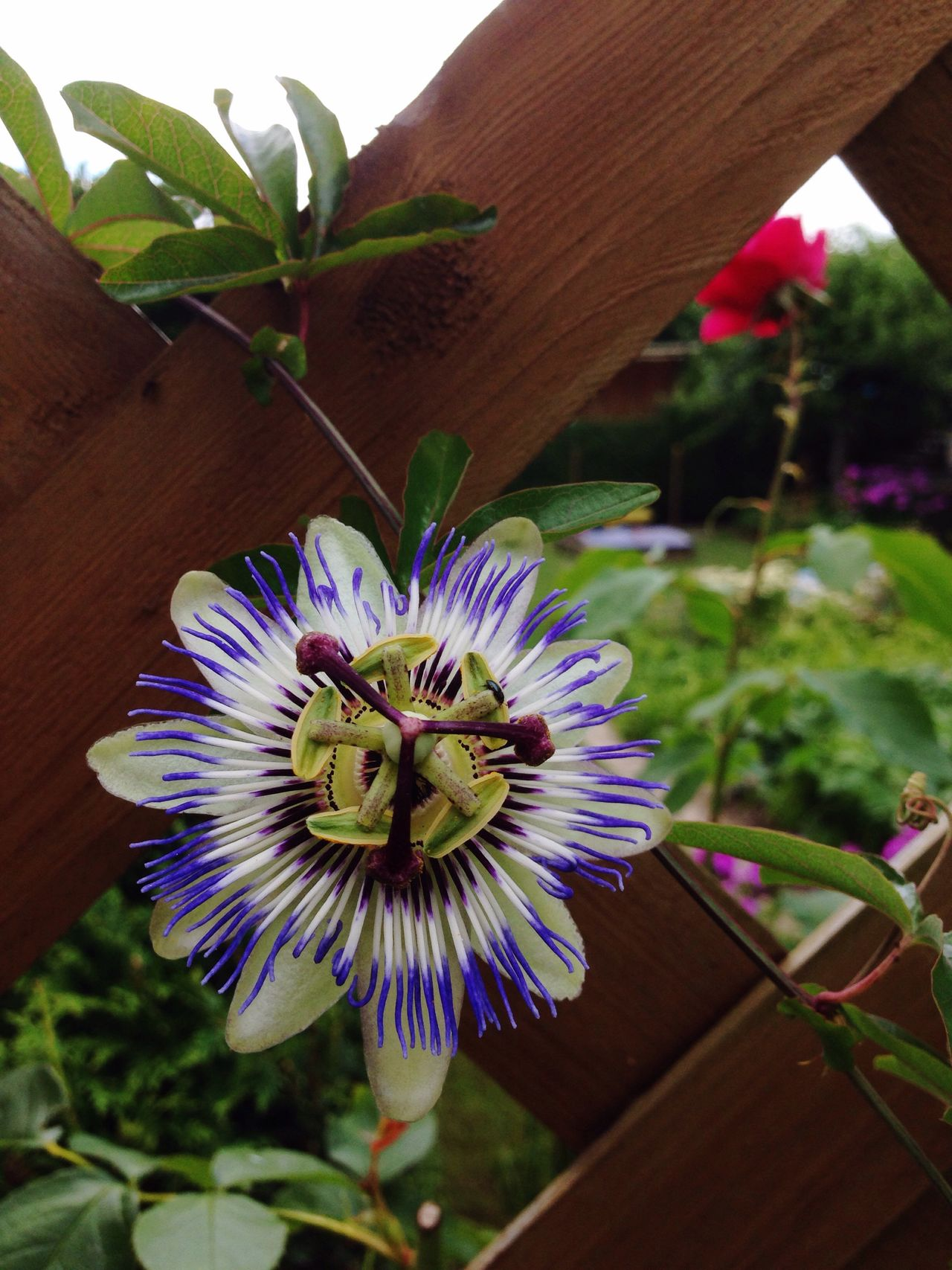 Flower Hobby Garden Photography Garden Flourishing Passionfruit Passionflower Passionsblume Gardening