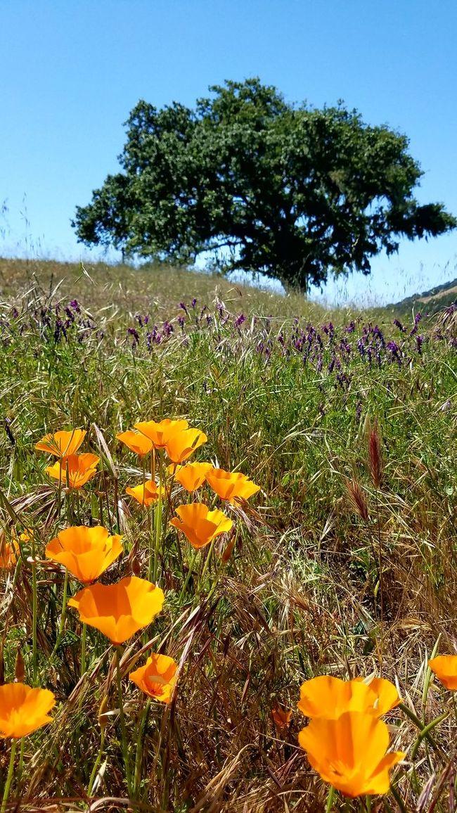 California Poppy California Poppy Flower Wildflowers Grass Hills Oak Oak Tree Nature Wilderness Nature Photography