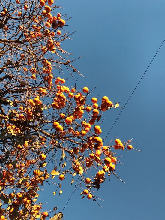 Low Angle View Clear Sky Growth Tree Nature No People Day Flower Beauty In Nature Blue Outdoors Autumn Branch Sky Fragility Freshness Kaki Fruit Kaki