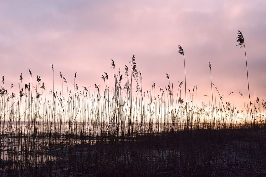 Nature No People Tranquil Scene Outdoors Silhouette Beauty In Nature Tranquility Sunset Growth Scenics Sky Lake Bird Water Day Grass Animal Themes Bodensee Bodenseebilder Schilf Sonnenaufgang
