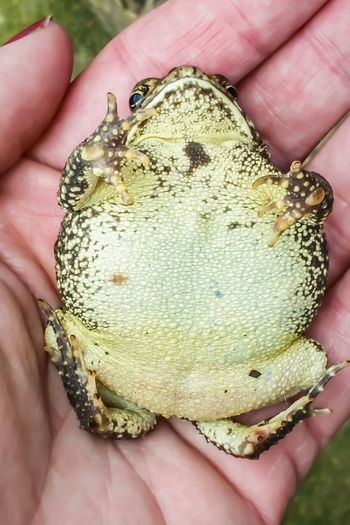 Human Hand Frog Toad Toad Frog Human Body Part Holding Close-up Handful Amphibian Reptile Animal Toes Feet Feet Up Small Animal Wildlife Animals In The Wild Friendly Nature Froggy Belly Belly Up Laying Back Laying On The Back Feet Up Chillin