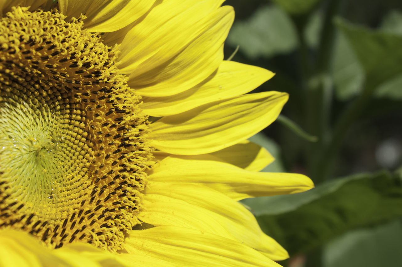 Sunflower close-up Beauty In Nature Blooming Close-up Day Flower Flower Head Fragility Freshness Growth Nature No People Outdoors Petal Plant Sunflower Yellow