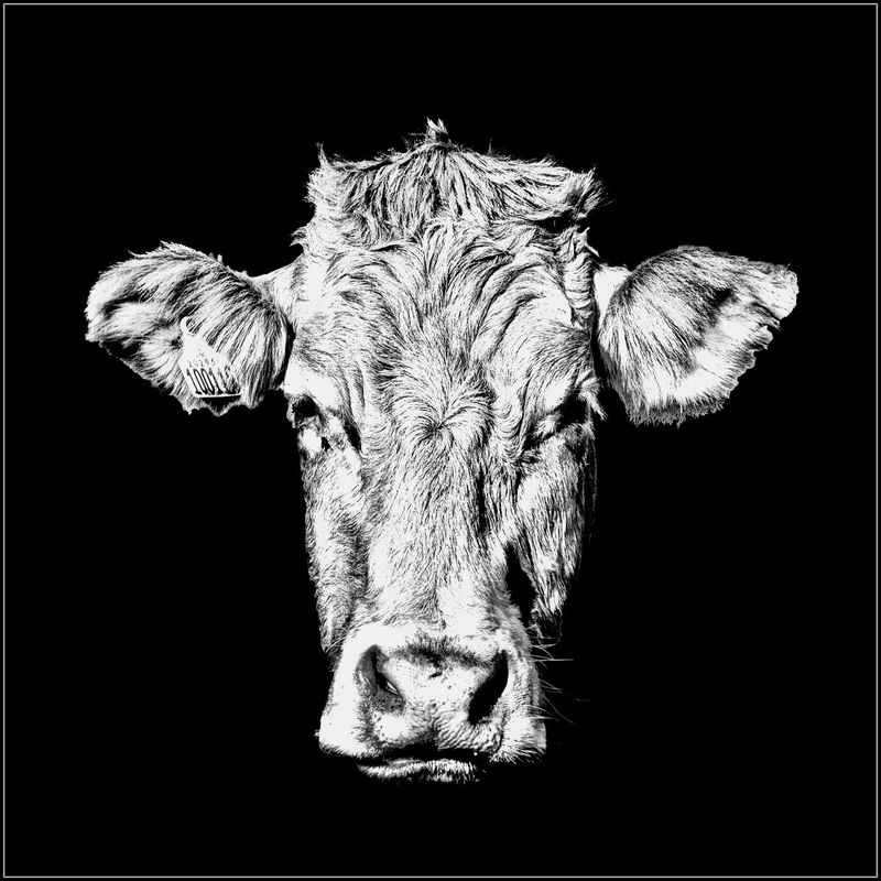 Animal Themes Black Background Close-up Cow Cows Head Day Indoors  No People