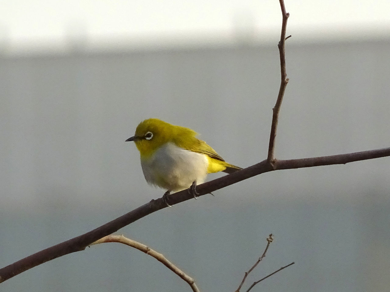 Neighbourhood Birds Animal Themes Animal Wildlife Animals In The Wild Bird Bird In City Bird Photography Close-up Day EyeEmNewHere Focus On Foreground Nature No People One Animal Outdoors Perching Rakeshtiwari Tiny Bird Wildlife & Nature Wildlife Photography Yellow Bird