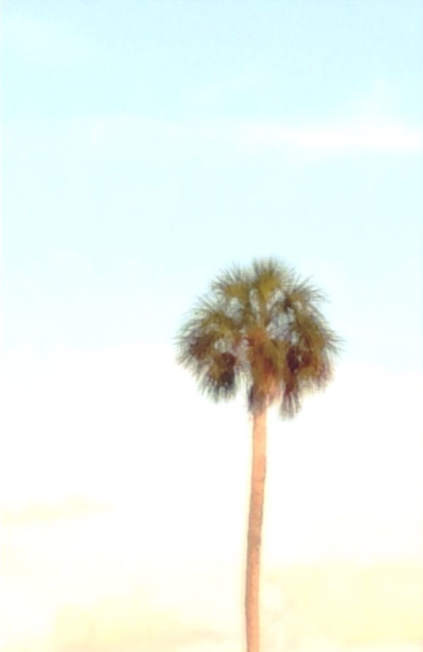 palm tree, growth, low angle view, beauty in nature, nature, sky, tree trunk, tall - high, tranquility, outdoors, scenics, day, no people, freshness, fragility, palm leaf, tranquil scene, majestic