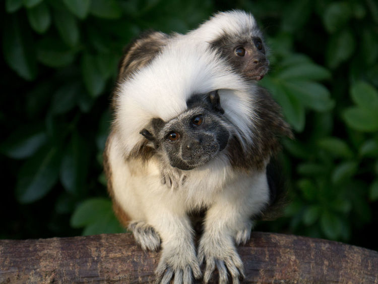 Mother and baby cotton-top Tamarin monkeys. Baby is on mother`s back whilst mum gazes into the camera. EyeEmNewHere Young Animal Wildlife Wild Sitting Outdoors No People Nature Monkey Mother With Baby Monkey Mammal Leaf Day Conservation Close-up Animal Themes Piggyback Cotton-Top Tamarin