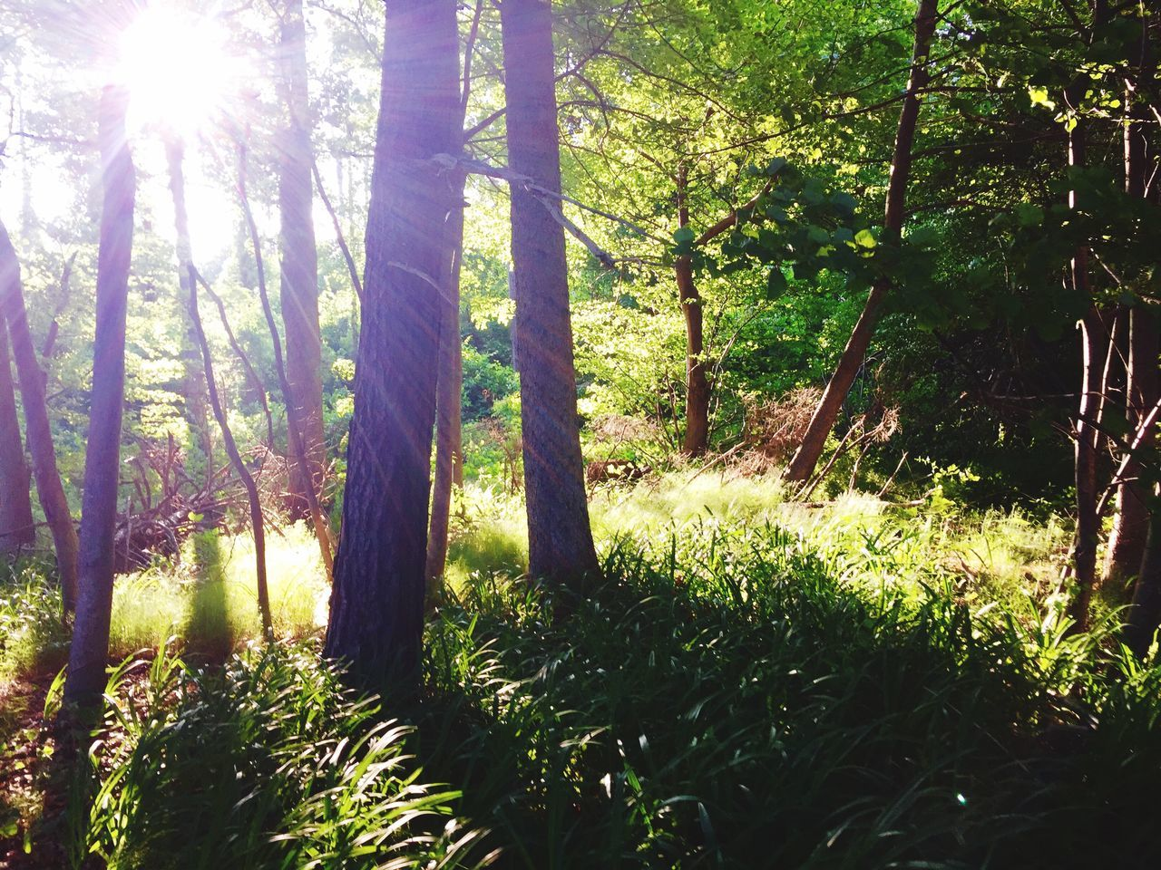 nature, tree, growth, sunlight, forest, sunbeam, tranquility, beauty in nature, tranquil scene, no people, landscape, day, scenics, outdoors, sun, grass, tree trunk