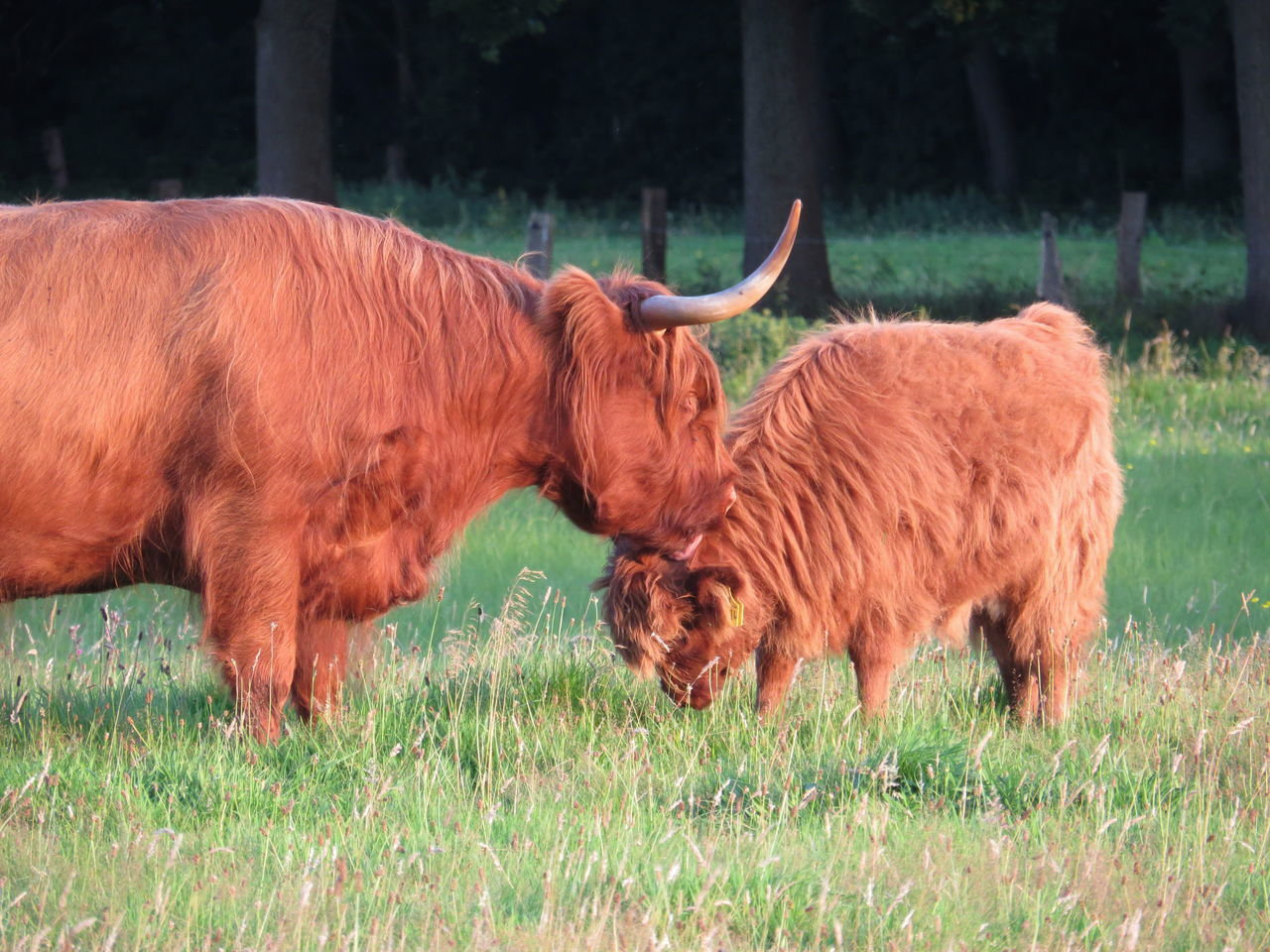 Animal Family Animals Cattle Evening Light Grassland Grazing Herbivorous Highland Cattle Mammal Nature No People Outdoors Pasture Young Animal Animal Themes Non-urban Scene From My Point Of View Taking Photos Side View