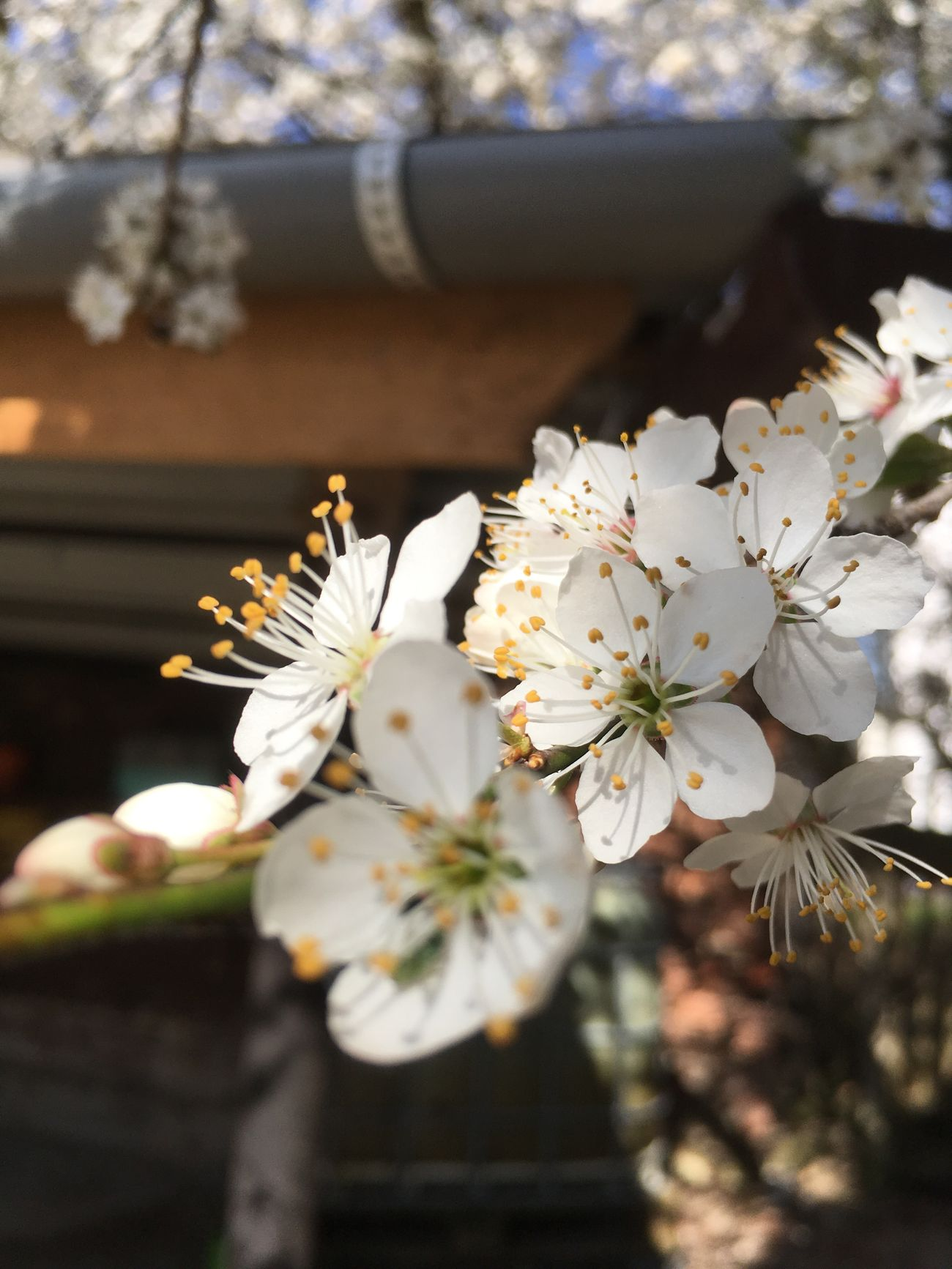 Flower White Color Fragility Nature Growth Blossom Beauty In Nature Freshness Petal Springtime In Bloom Tree Apple Blossom Flower Head Apple Tree Fruit Tree Close-up Focus On Foreground Twig Stamen