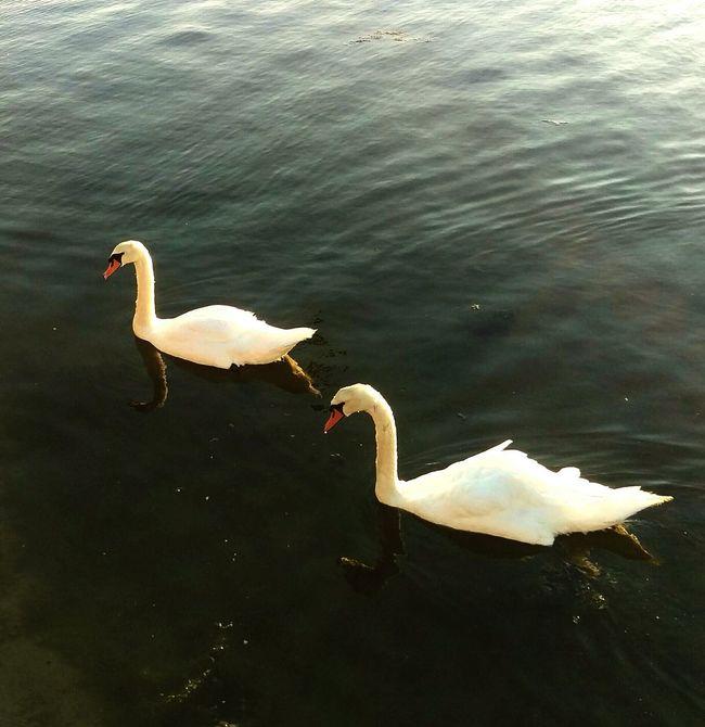 Swans Swan Chichester Harbour Emsworth Wildlife Birds Mill Pond
