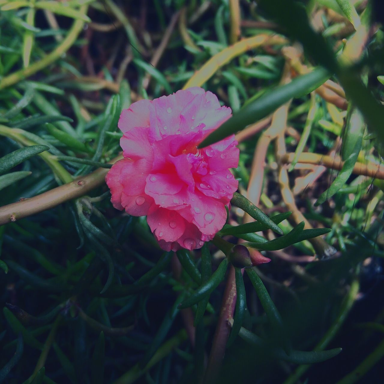 flower, nature, beauty in nature, pink color, petal, growth, plant, fragility, drop, wet, green color, outdoors, no people, flower head, day, freshness, blooming, water, close-up