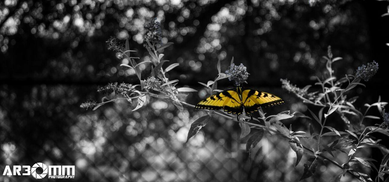 *Butter* http://ar30mm.com Hashtag Stream: #photos #nature #inspiration #creativity #nikon #colorsplash #nc #suburb life #customfilter butterfly selectivecolor  Relaxing Butterflies Color Splash Nature