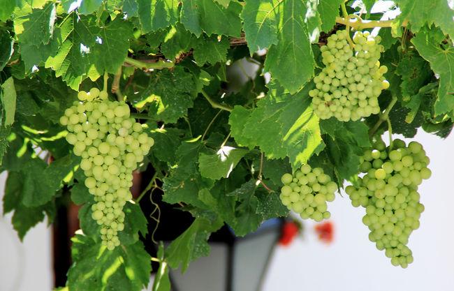 Pueblo Mijas Mijas Mijasforever Grapes Grapes! Green Grapes Wild Grapes Grapes 🍇 Bunch Of Grapes Grapes!!!!!