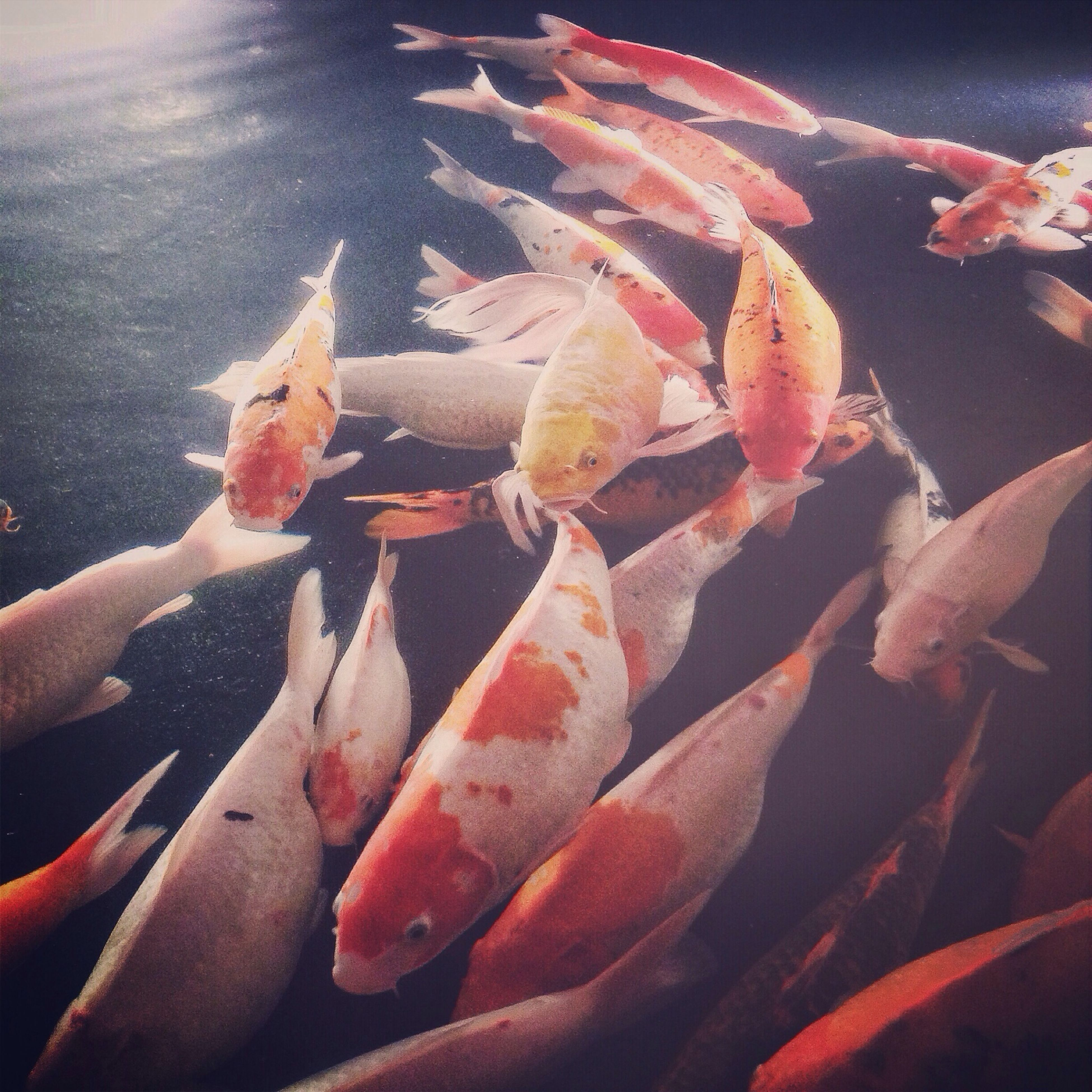 fish, animal themes, water, animals in the wild, wildlife, swimming, sea life, medium group of animals, high angle view, seafood, underwater, close-up, nature, pond, koi carp, day, outdoors, dead animal
