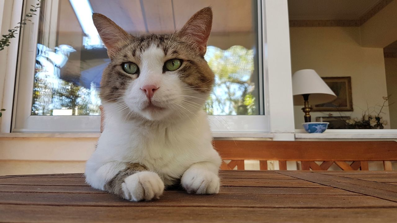 Pets Domestic Cat One Animal Domestic Animals Animal Indoors  Animal Themes Portrait Feline Mammal Cute Sitting No People Day Close-up