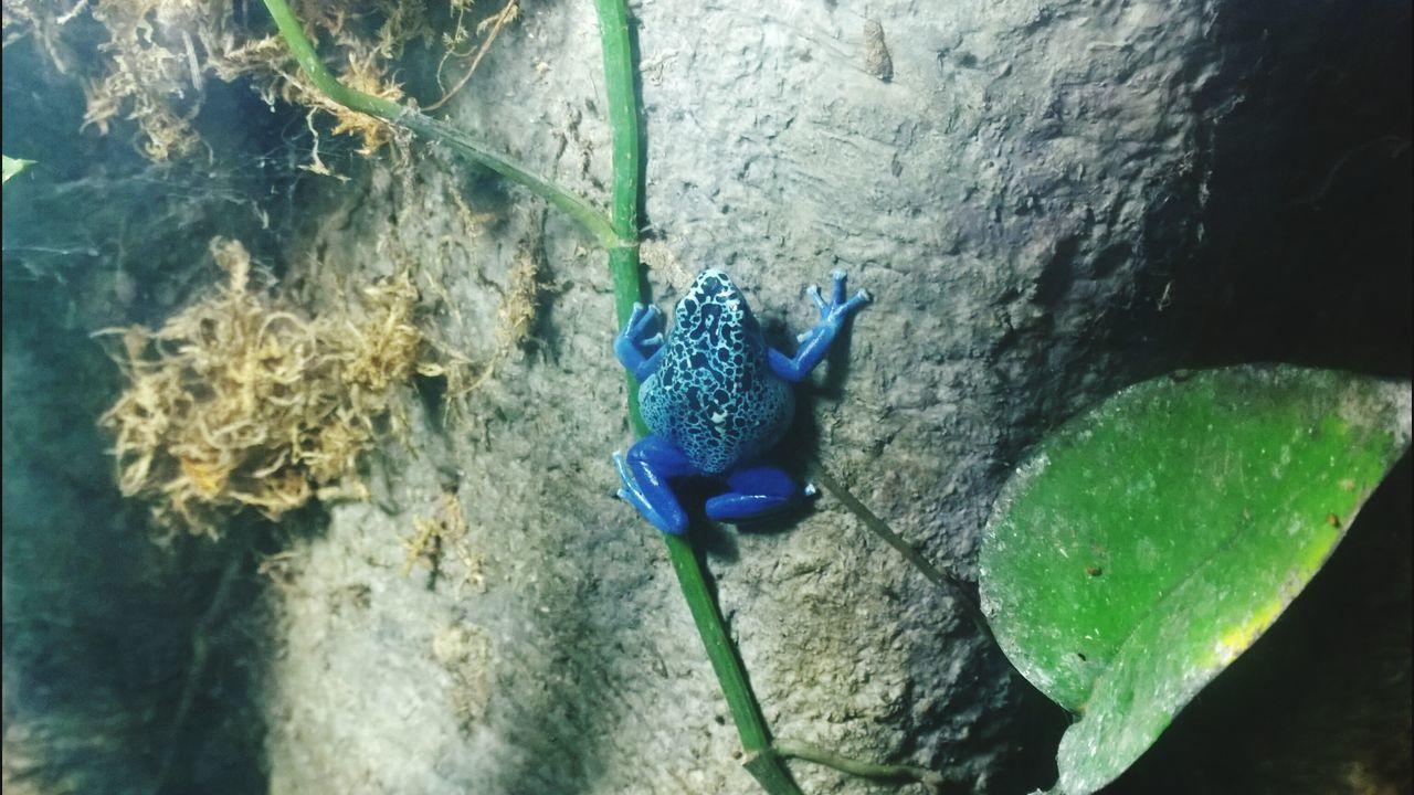 Poison Dart Frog Frog Aquarium Of The Pacific Poison Amphibian