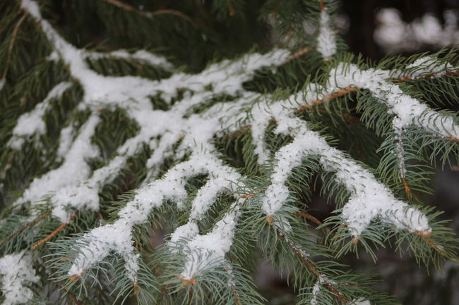 Backgrounds Beauty In Nature Close-up Detail Evergreen Evergreen Branch Focus On Foreground Full Frame Green Natural Pattern Nature No People Season  Snow Snow Covered Branch Snow Covered Evergreen Branch Snow Covered Tree