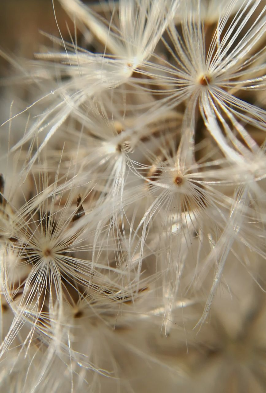 dandelion, flower, fragility, softness, close-up, growth, nature, plant, no people, flower head, freshness, beauty in nature, day, outdoors