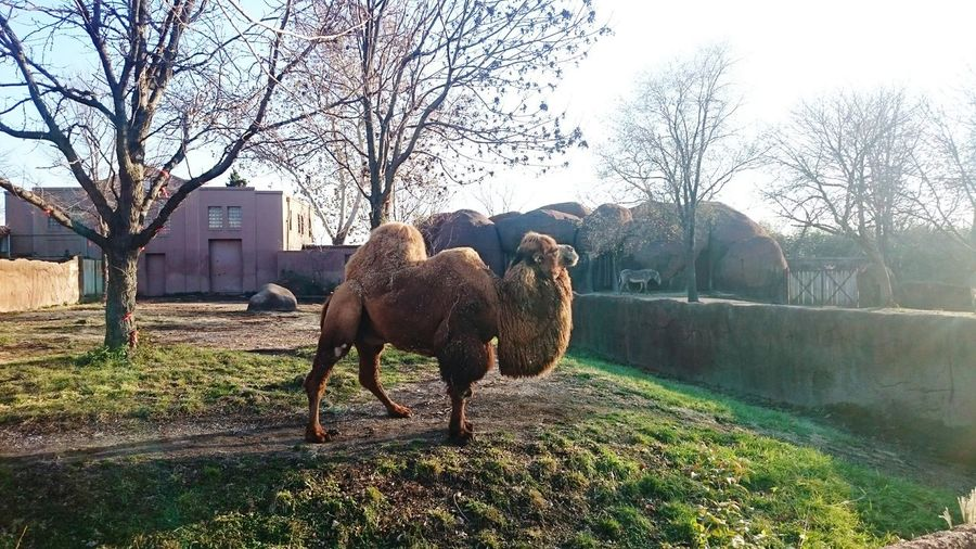 Nature Sky Tree Outdoors Day No People Animal Mammal Camel 2humps Zoo Brown One Animal