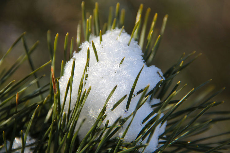 pine tree in the snow Botany Detail Natural Pattern Nature No People Pine Tree In The Snow Selective Focus White & Whiteness