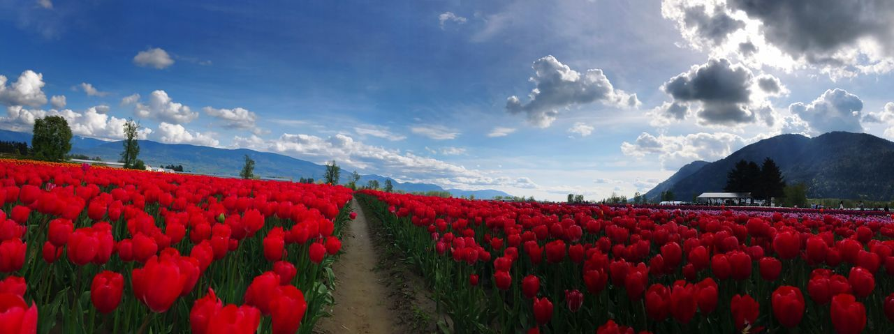 Red Field Growth Beauty In Nature Flower Tulips Tulip Love Tulip Fields Tulip Festival Flowerpower Feildsoflove Agriculture Landscape Mountain Sky Cloud - Sky