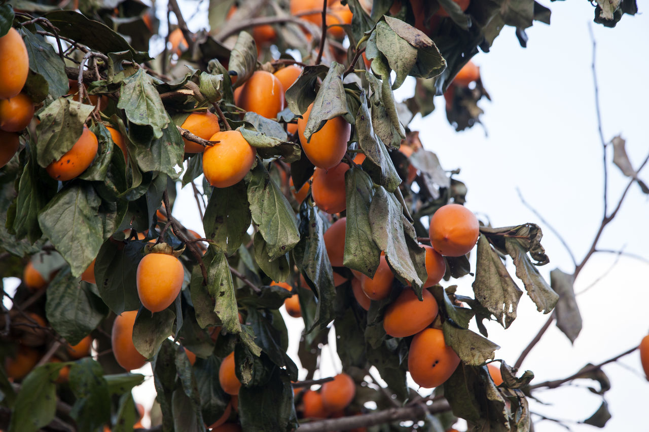 Low Angle View Of Persimmons Growing On Tree Against Sky