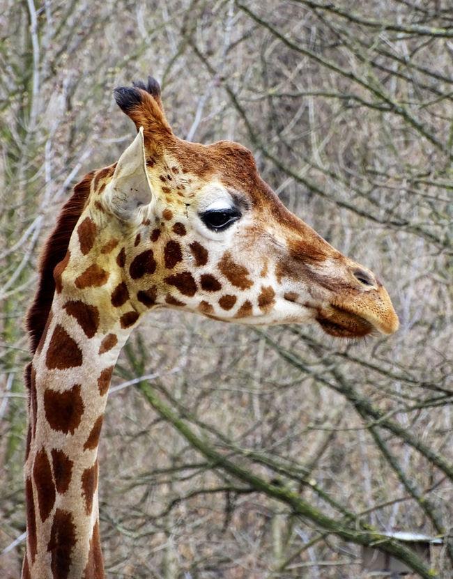 Giraffe Giraffe♥ One Animal Animal Animal Head  Animal Photography Animal Head  Animal_collection Nature Nature Photography Zoology Zoo EyeEm Best Shots