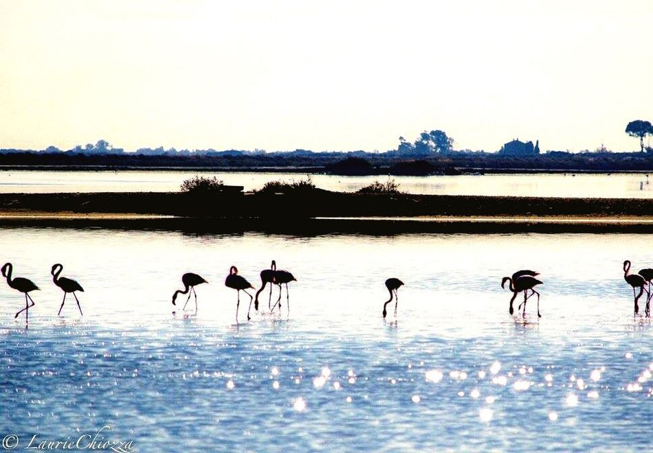 Nature Water Animals In The Wild Reflection Beauty In Nature Animal Wildlife Bird Sky Sea Flamant Rose Camargue Sunset First Eyeem Photo
