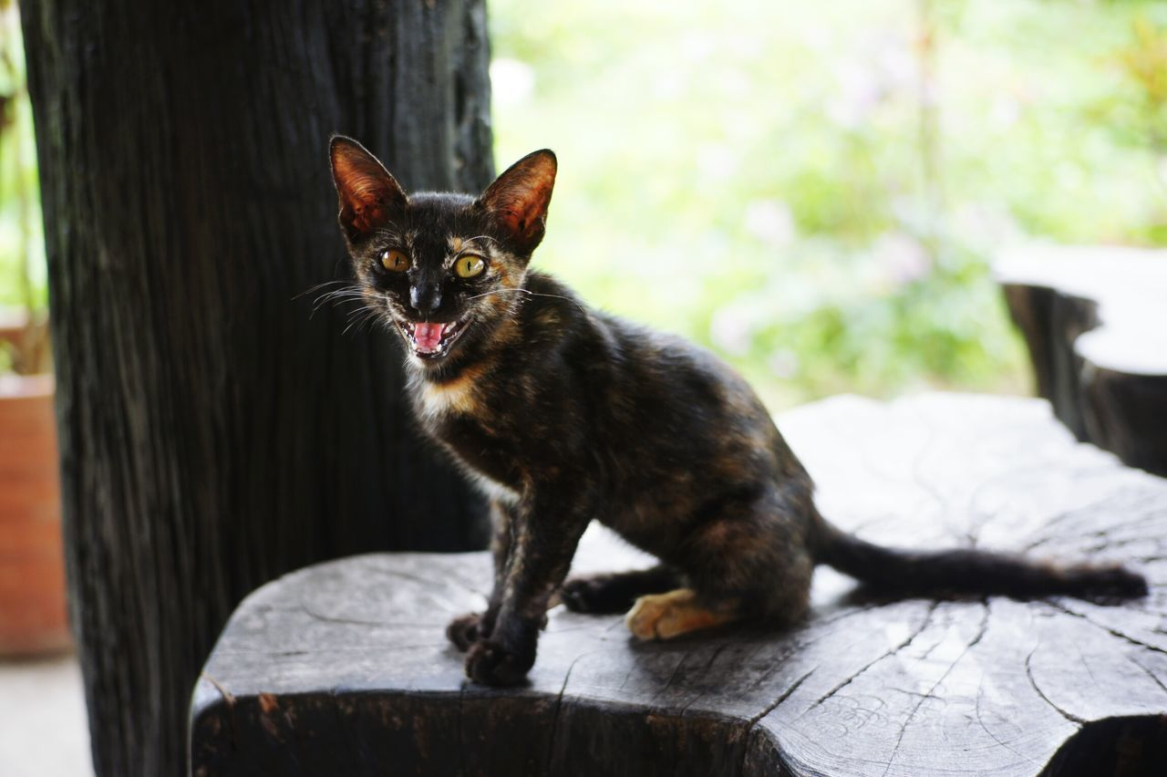 Pets Animal Themes Cat Black Cat Engry Thaicat Animal