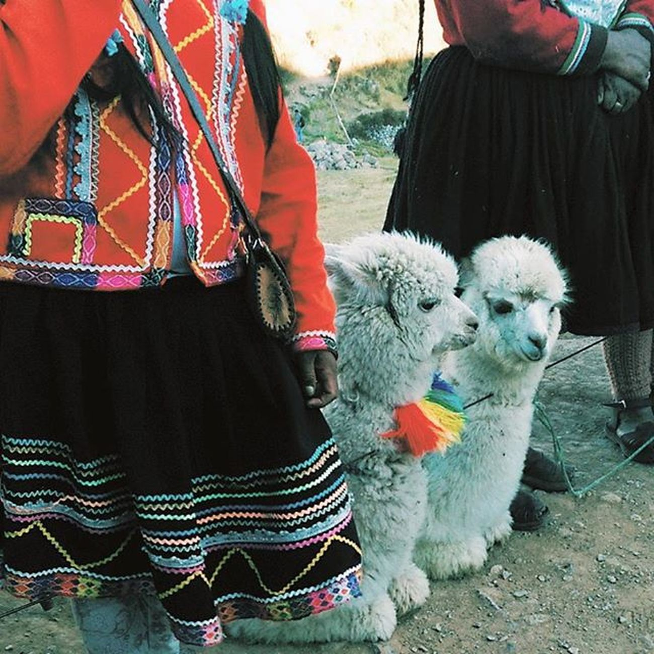 Alpacas comadreando. Cusco Peru Vscocam