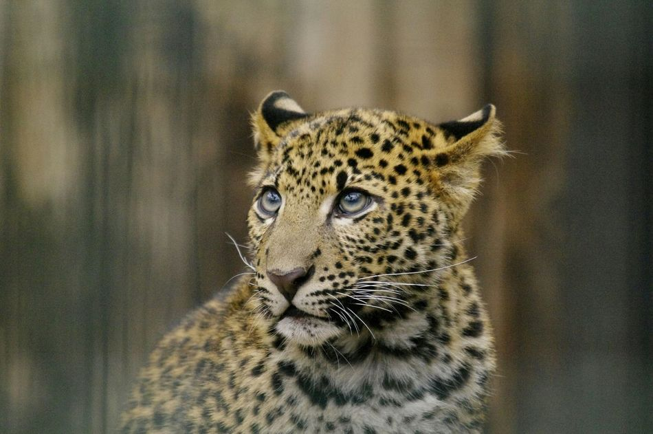 Beautiful stock photos of leopard, Animal Markings, Animal Themes, Animals In The Wild, Close-Up