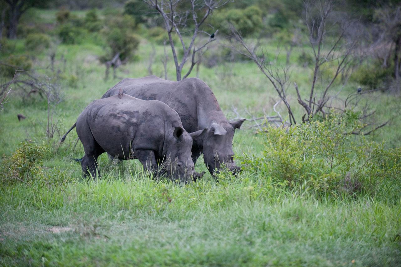 Two rhinos feeding on pasture