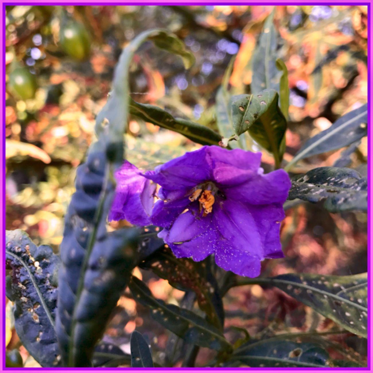 Purple Pleasure 💜💜💜 Flower Flowers Purpleflower💜 Plants And Flowers Beautiful😍😍😍 Blooming Flowerseries Summerflowers WhileIwaswalking 💜💜💜