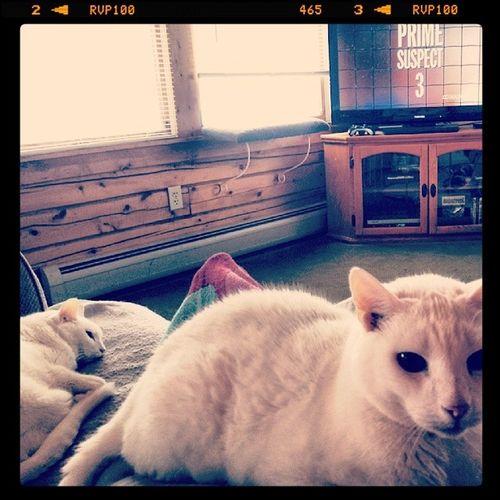 Lazy Netflix Saturday on the couch Helenmirren Primesuspect Lazysaturday DSH catsofinstagram petsofinstagram petstagram