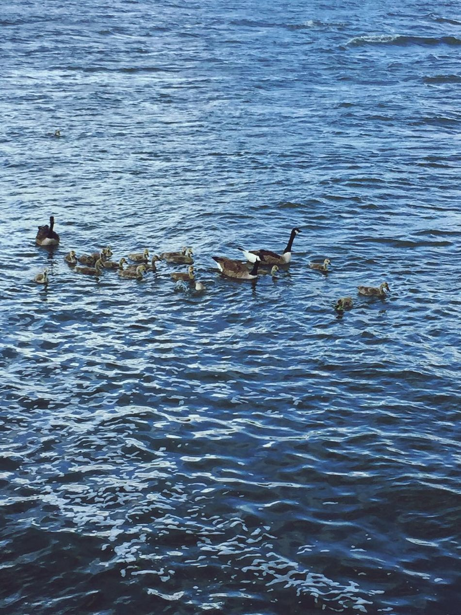 River Geese