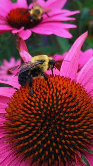 Flower Bee Insect Beauty In Nature Pollen Pink Color Animals In The Wild Nature Animal Wildlife Petal Pollination Save The Bees Day Garden