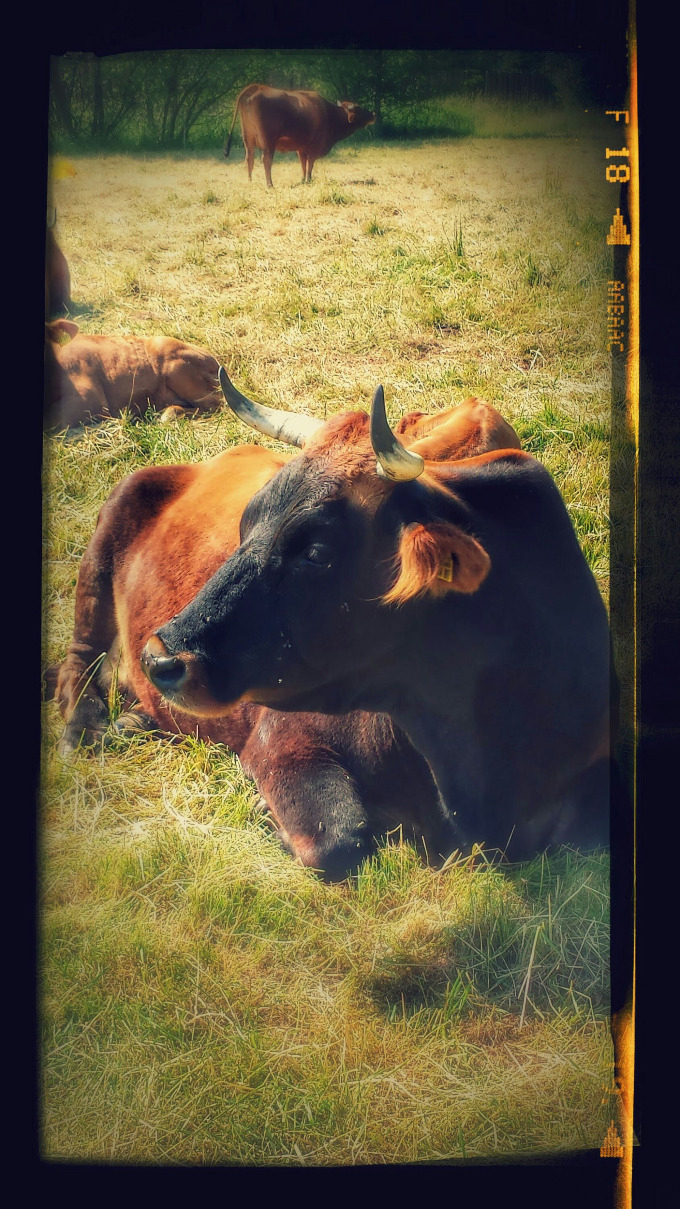 domestic animals, animal themes, mammal, grass, livestock, one animal, field, horse, cow, grassy, transfer print, domestic cattle, pets, herbivorous, auto post production filter, zoology, no people, sunlight, two animals, grazing