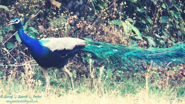 Beautiful Peacock Peacock Colors Bird Bird Photography Birdwatching Birdview Beautiful Nature Eyembestshots Peafowl Greenery Blue Bird