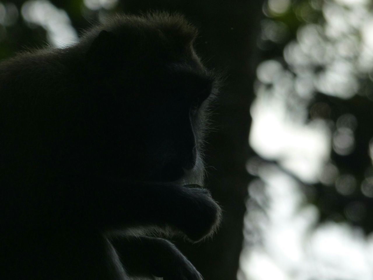 Black Color Monkey Beauty In Nature INDONESIA Bali Ubud Monkey Forest Animal Themes Nature Animal Wildlife One Animal Dark Shadow