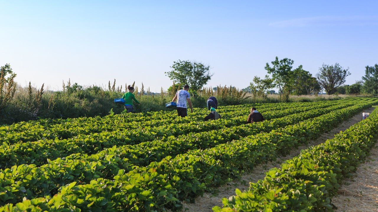 strawberries handpickers in the field. Strawberries Handpickers Field Nature Landscape Agriculture Farm Spring Sunrise