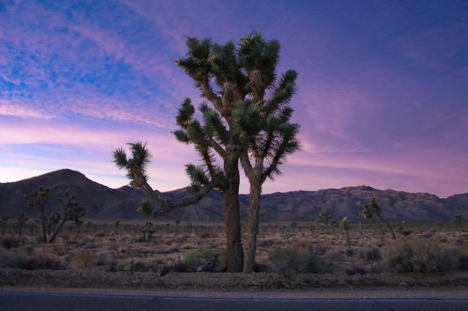 Tree Nature Scenics Sky Palm Tree Beauty In Nature Tranquility Landscape Mountain No People Tranquil Scene Remote Outdoors Desert Growth Wilderness Tree Trunk Day Cloud - Sky Joshua Trees Joshua Tree Joshua Tree National Park