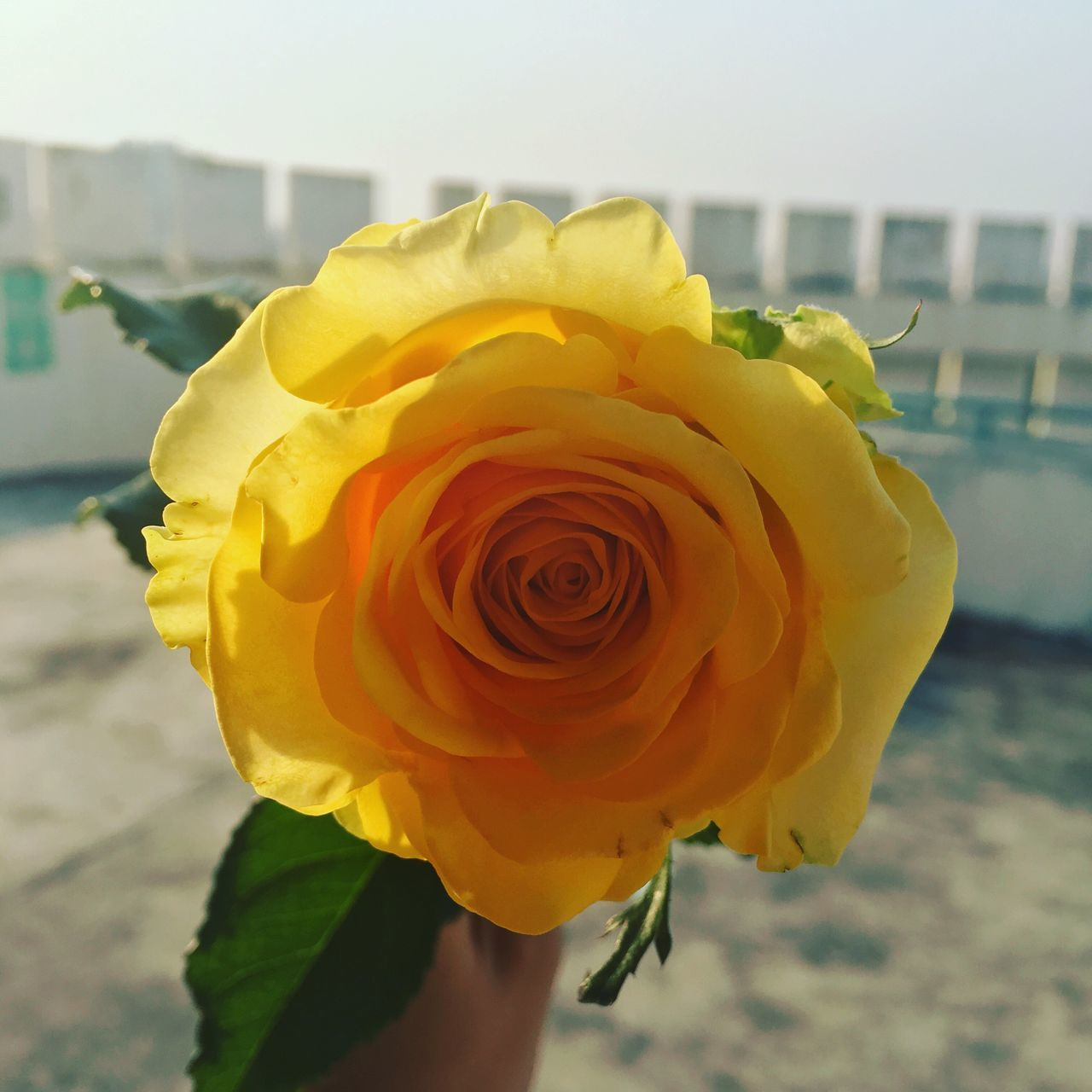 White Day Yellow Rose Flower Beauty In Nature First Eyeem Photo
