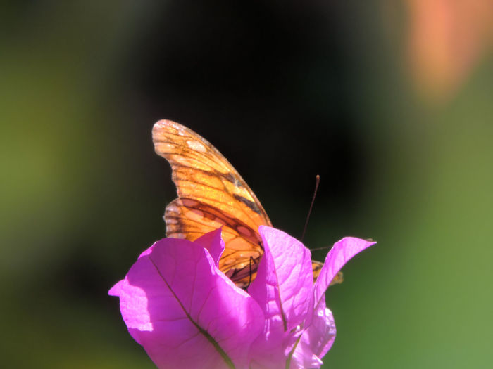 Beauty In Nature Butterfly Butterfly - Insect Close-up Flower Flower Head Fragility Freshness Magazhu Nature No People Outdoors Petal Showcase: February Yelapa