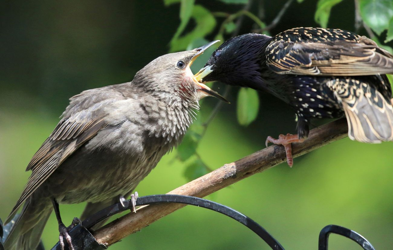 Feeding the young Starlings Animal Themes Animal Wildlife Animals In The Wild Bird Close-up Day Focus On Foreground Nature No People Outdoors Perching