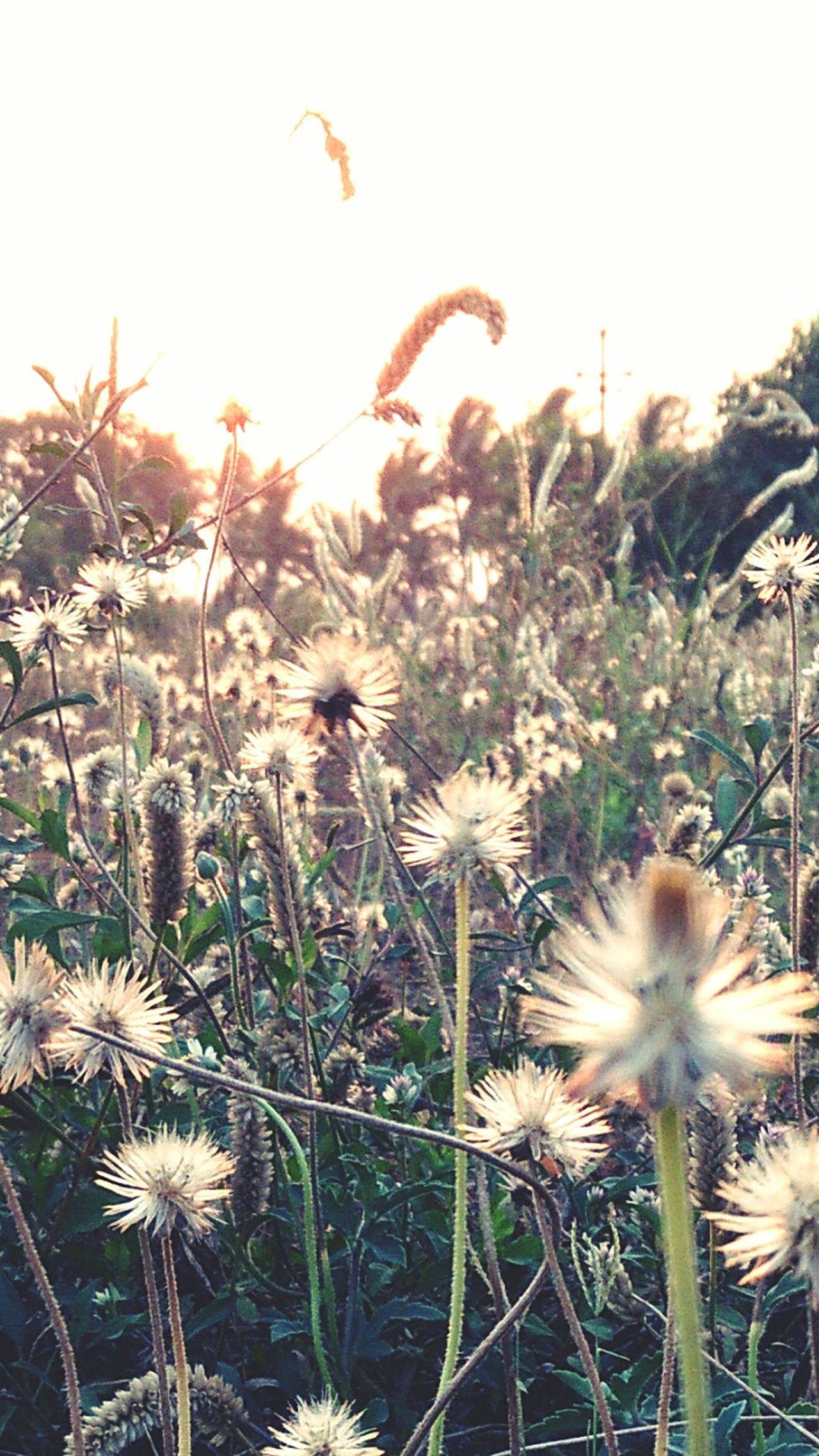 Dandelion Flowers Little Buds Smiling Always :)
