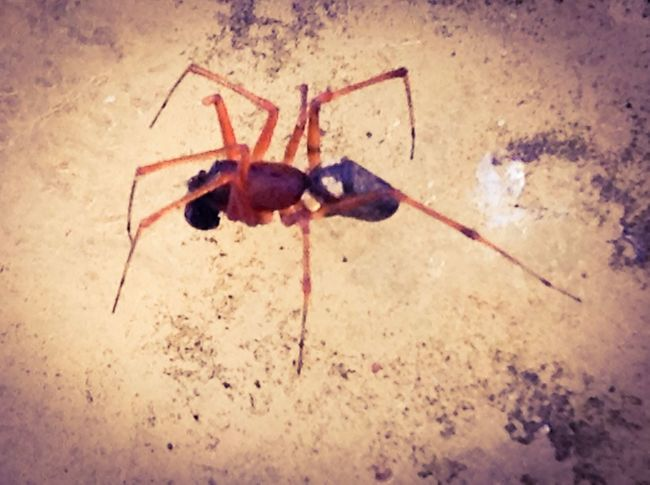 Steatoda false Black Widow Spider Spiders