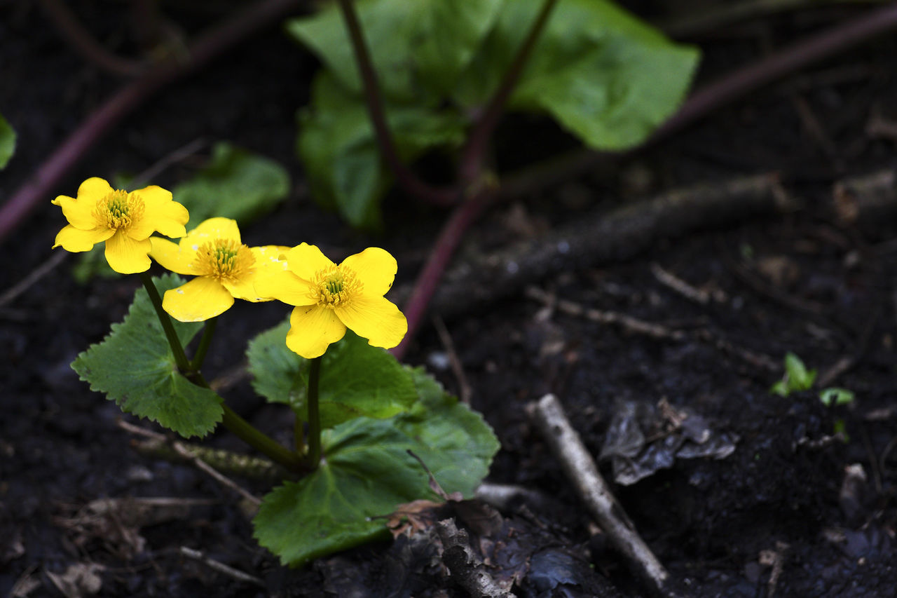 Marsh marigolds Beauty Beauty In Nature Blooming Botany Flower Flower Head Fragility Freshness Garden Growth Leaf Marsh Marigold Nature Nature Outdoors Petal Plant Plant Yellow